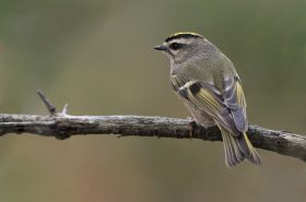 A Golden-crowned Kinglet, among the birds most commonly killed by  collisions with glass buildings - Photo by Snowmanradio - https://bit.ly/2PjkW6d